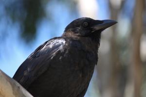 Czarny Ptak