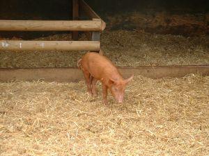 Makabryczny sen o świni