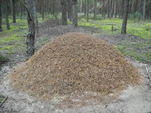 Kopiec z mrówkami