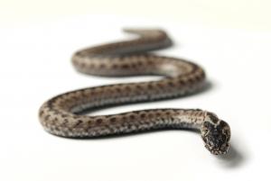 Wąż i naga kobieta